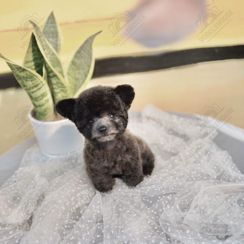 Chó Poodle thuần chủng