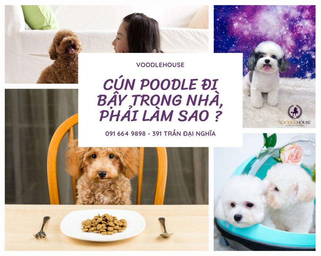 Chó Poodle